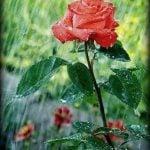 Gülden Ne Gelir, en güzel aşk şiirleri